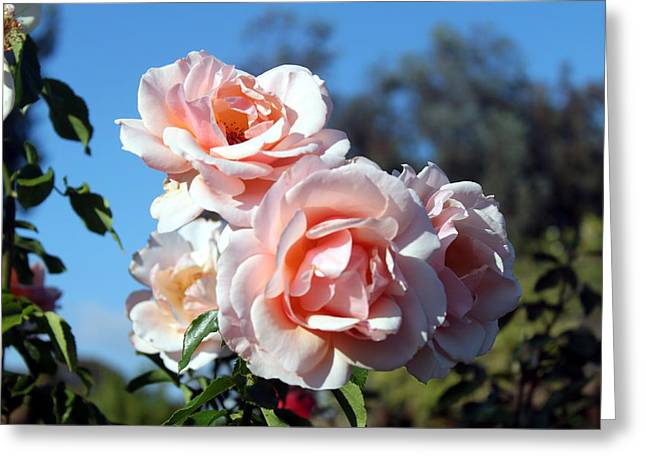 Pink Roses Greeting Card by Valerie Broesch