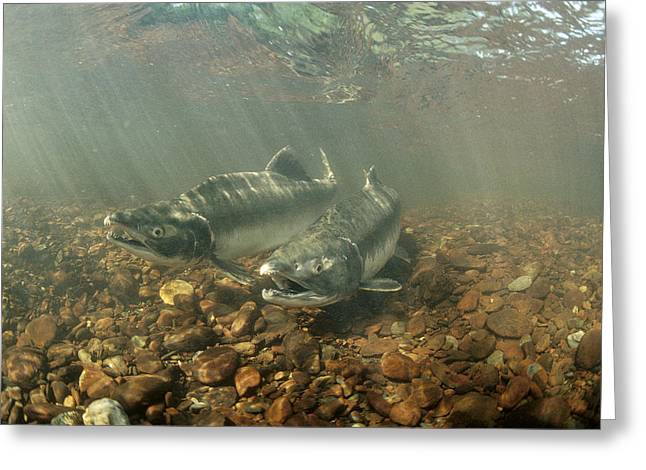 Gorbuscha Greeting Cards - Pink Salmon During Summer Spawning Greeting Card by Michael Quinton
