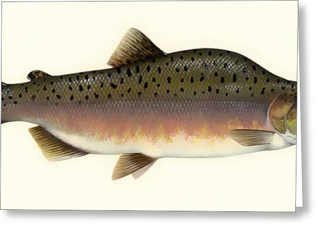 Salmon Drawings Greeting Cards - Pink Salmon Greeting Card by Mountain Dreams