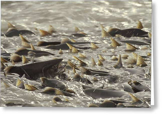 Gorbuscha Greeting Cards - Pink Salmon Spawning In Mass Lowe River Greeting Card by Michael Quinton