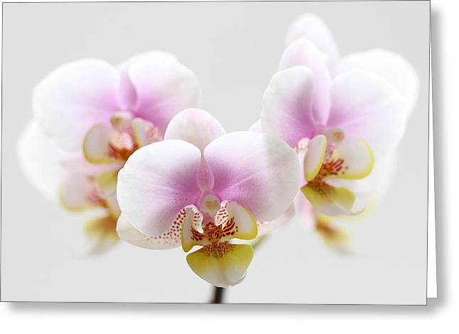 Orchid Canvas Greeting Cards - Pink Sensation Greeting Card by Juergen Roth