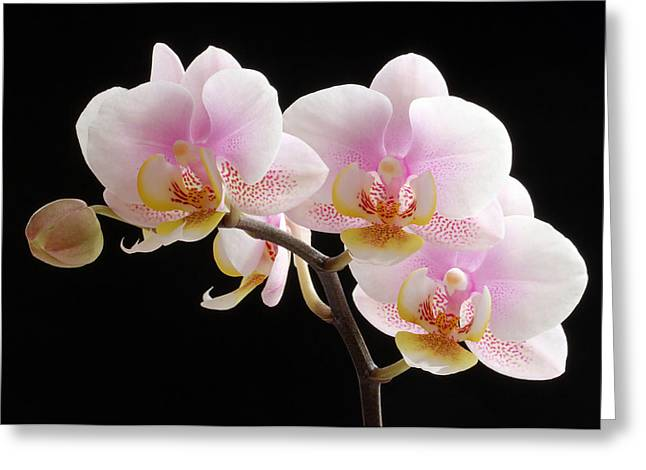 Orchid Artwork Greeting Cards - Pink Sensations Greeting Card by Juergen Roth