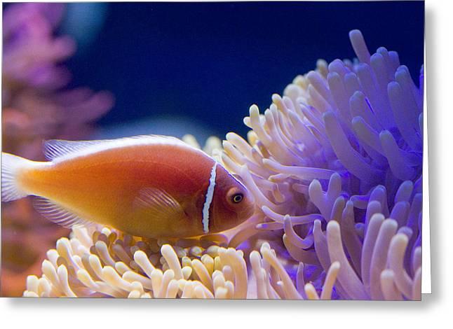 Anemonefish Greeting Cards - Pink skunk clownfish Greeting Card by Carl Jackson