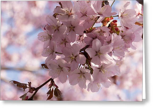 March Greeting Cards - Pink Spring - A Cloud of Delicate Cherry Blossoms Greeting Card by Georgia Mizuleva
