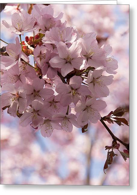 March Greeting Cards - Pink Spring - Gently Pink Cherry Blossoms Greeting Card by Georgia Mizuleva