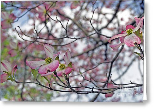 Fruit Tree Art Greeting Cards - Pink Spring Greeting Card by Skip Willits