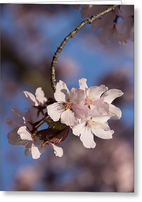 March Greeting Cards - Pink Spring - Sunlit Blossoms and Blue Sky - Vertical Greeting Card by Georgia Mizuleva