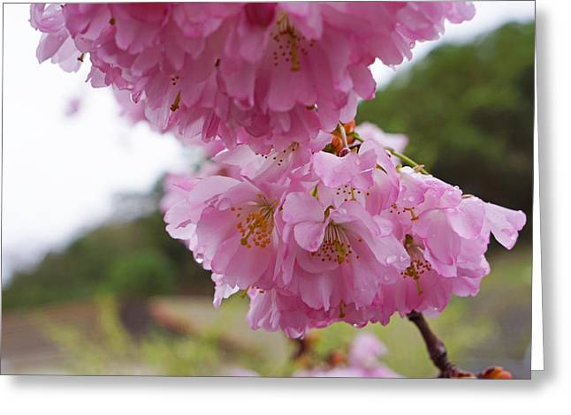 Popular Flower Art Greeting Cards - Pink Spring Tree Blossoms Art Prints Greeting Card by Baslee Troutman