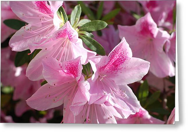Stigma Greeting Cards - Pink Star Azaleas in Full Bloom Greeting Card by Connie Fox