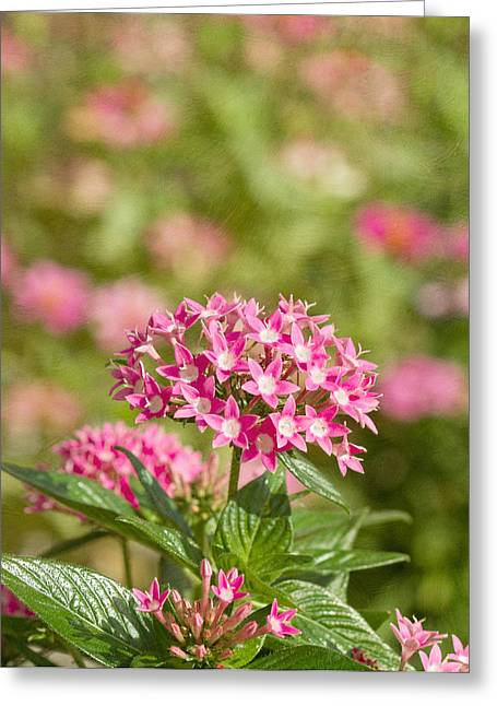 Bedroom Art Greeting Cards - Pink Star Cluster Flower Greeting Card by Kim Hojnacki
