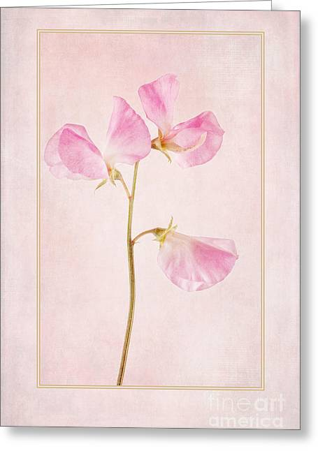 Pink Sweet Peas Greeting Cards - Pink Sweet Pea Greeting Card by John Edwards