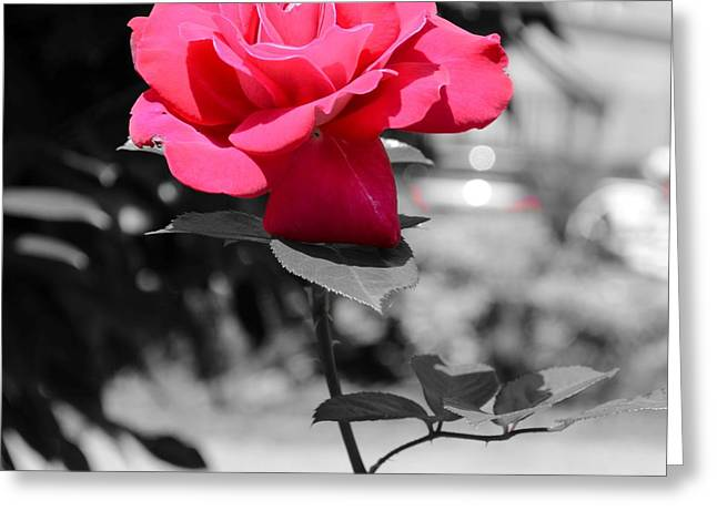 Monochrome Pyrography Greeting Cards - Pink Greeting Card by Tamara Al Bahri