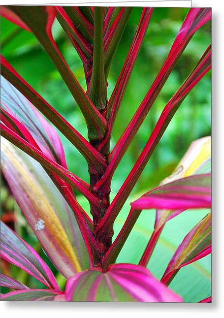 Cordylines Greeting Cards - Pink Ti Greeting Card by Rachel O