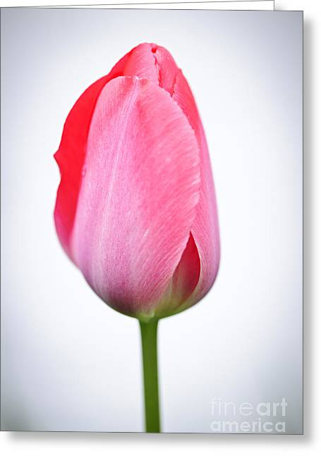 Petal Greeting Cards - Pink tulip Greeting Card by Elena Elisseeva