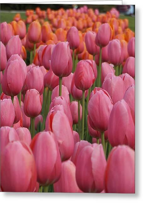 Brian Jones Greeting Cards - Pink Tulip Impression Greeting Card by Brian Jones