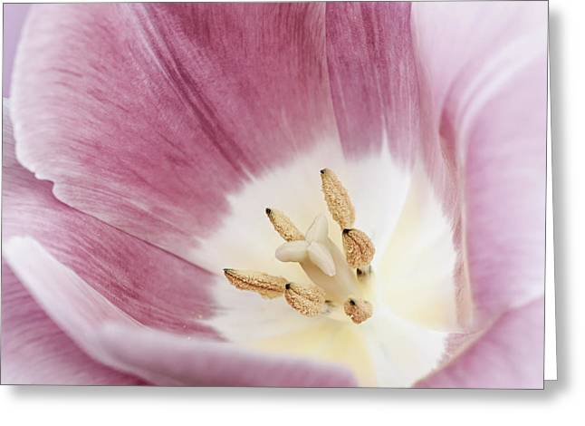 Stamen Greeting Cards - Pink tulip macro Greeting Card by Elena Elisseeva