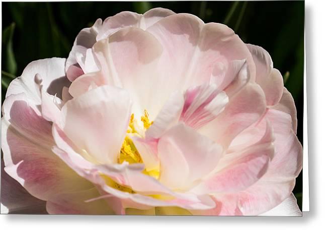 Cheekwood Botanical Garden Greeting Cards - Pink Tulip Greeting Card by Paula Ponath