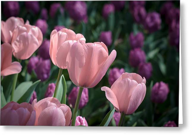 Jamesbarber Greeting Cards - Pink Tulips Greeting Card by James Barber