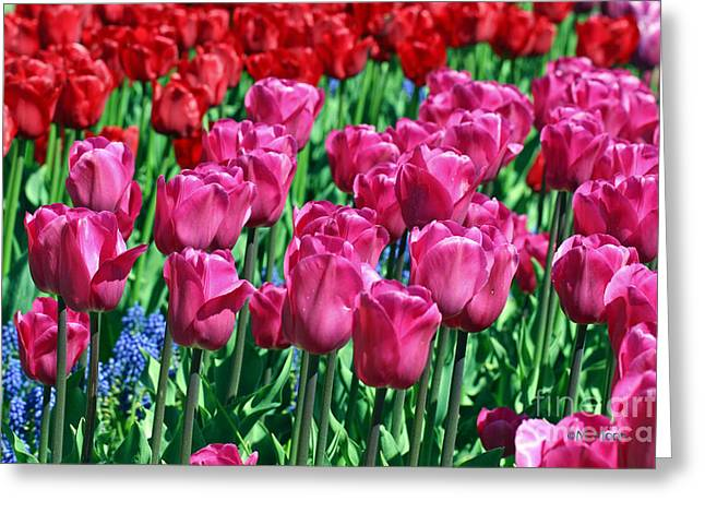 Pink Tulips Greeting Card by Tap  On Photo
