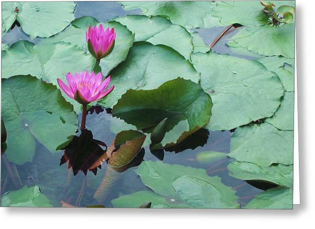 Cherie Sexsmith Greeting Cards - Pink Water Lilies Greeting Card by Cherie Sexsmith