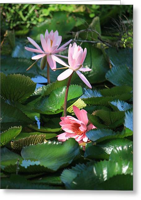 Lilly Pad Greeting Cards - Pink Water Lillies Greeting Card by Mandy Shupp