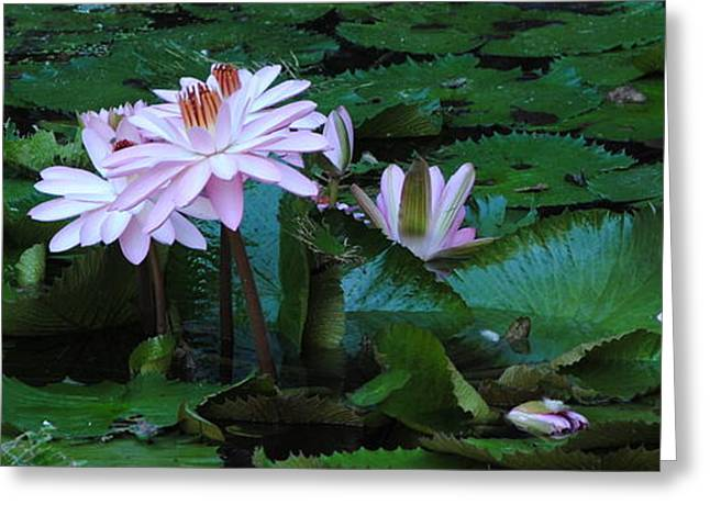 Water Lilly Greeting Cards - Pink Water Lillies Greeting Card by Michael Terracina