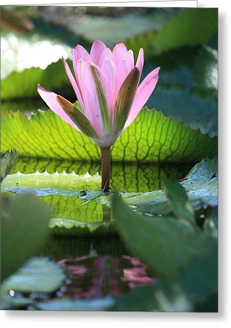 Lilly Pads Greeting Cards - Pink Water Lilly II Greeting Card by Mandy Shupp