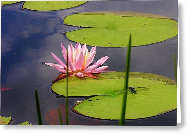 Pink Water Lily And Dragonfly Greeting Card by Sherman Perry