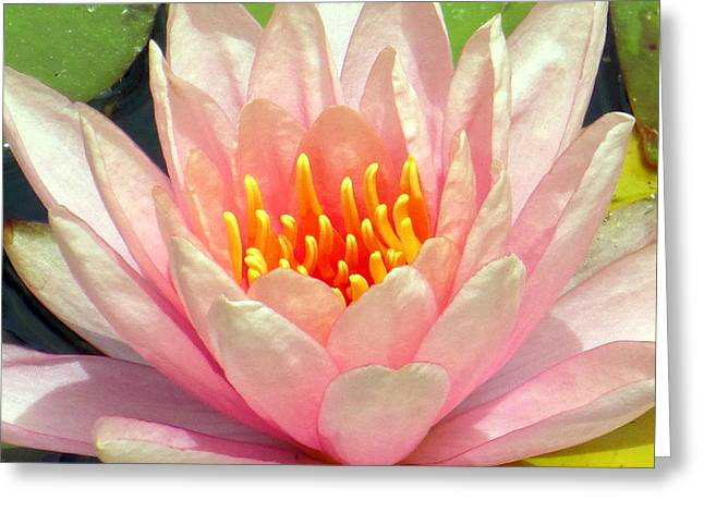 Waterlily Stamen Greeting Cards - Pink Water Lily Greeting Card by Barbie Corbett-Newmin