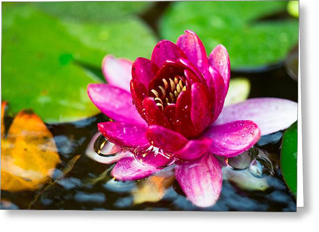 Colored Bubles Greeting Cards - Pink water lily delight Greeting Card by Eti Reid
