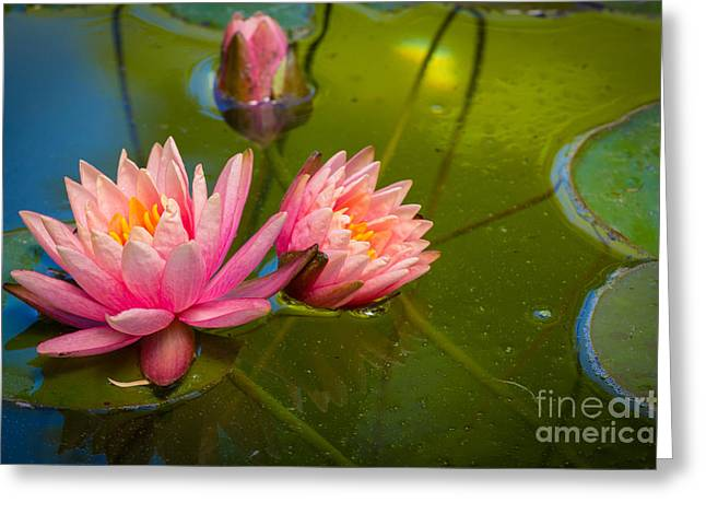 Pink Water Lily Greeting Card by Inge Johnsson