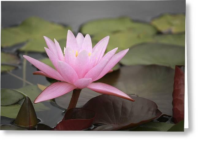Innocence Greeting Cards - Pink Water Lily Greeting Card by Marina Kojukhova