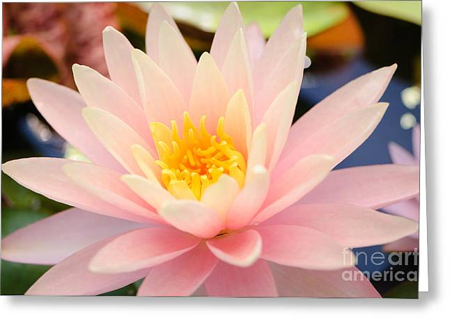 Lilies Greeting Cards - Pink Water Lily Greeting Card by Oscar Gutierrez