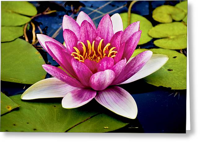 Pointy Petals Greeting Cards - Pink Waterlily Greeting Card by Christi Kraft