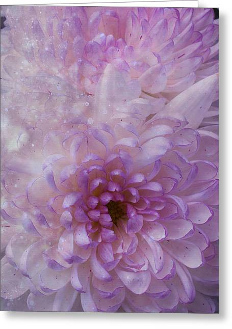Pink Chrysanthemums Greeting Cards - Pink White Mums Greeting Card by Garry Gay