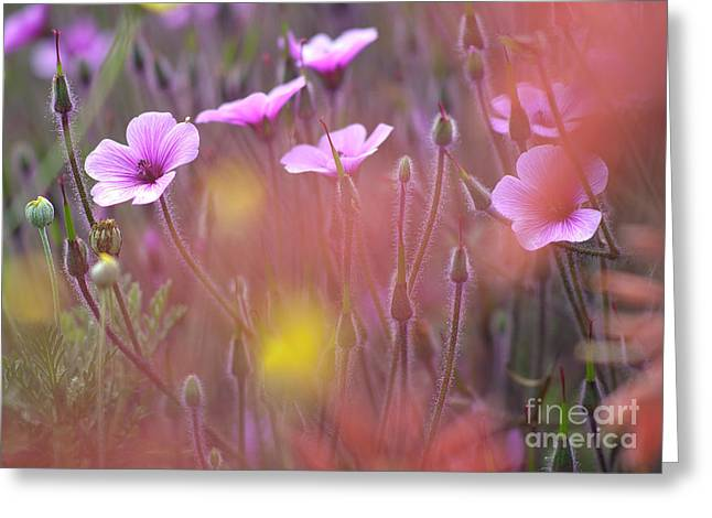 Geranium Flower Close Up Greeting Cards - Pink wild Geranium Greeting Card by Heiko Koehrer-Wagner