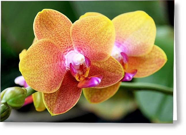 Orchids Art Greeting Cards - Pink Yellow Orchid Greeting Card by Rona Black