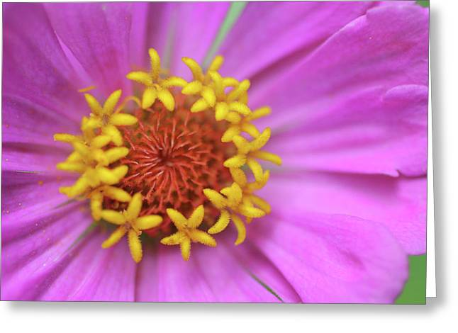 Pink Zinnia Greeting Card by Anna Miller