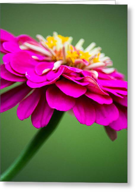 Zinnias Greeting Cards - Pink Zinnia Greeting Card by Parker Cunningham