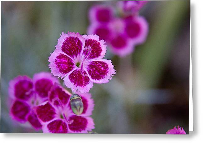 Pinks Greeting Card by Frank Tozier