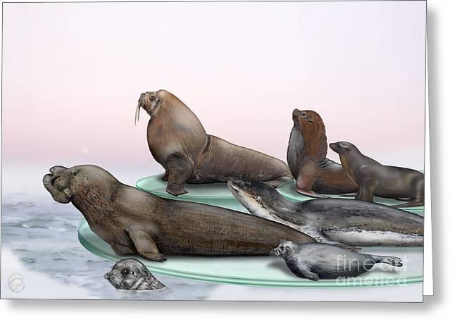 Sea Lions Drawings Greeting Cards - Pinnipeds  - Walruses Odobenidae - Eared and Earless seals Otariidae Phocidae - Interpretive Panels Greeting Card by Urft Valley Art