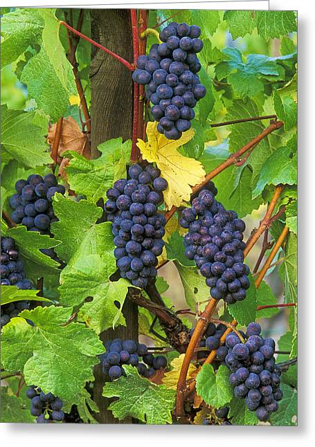 Pinot Noir Greeting Cards - Pinot Noir Grapes Greeting Card by Greg Vaughn