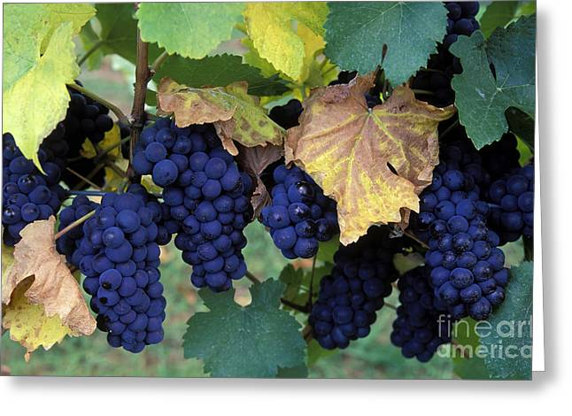 Pinot Noir Grapes Greeting Card by Kevin Miller