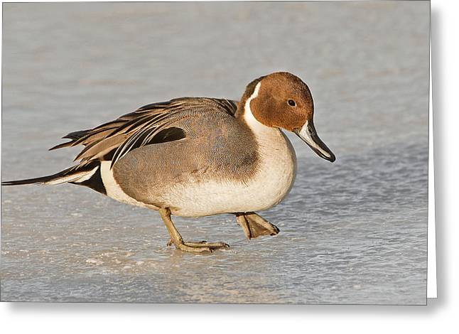 Pintail Duck Greeting Card by Susan Candelario