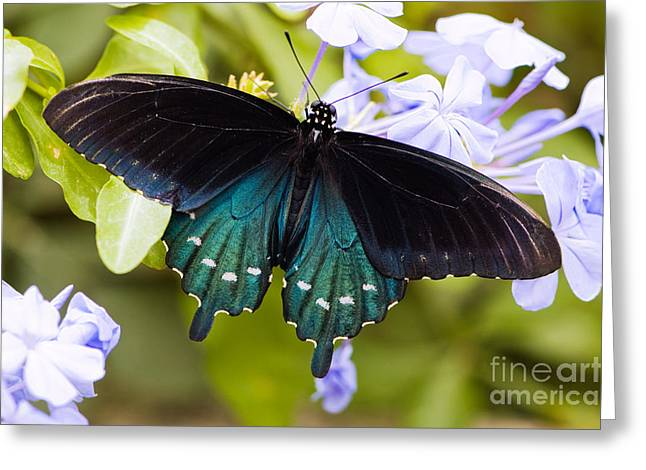 Butterflies Greeting Cards - Pipe vine swallowtail butterfly Greeting Card by Oscar Gutierrez