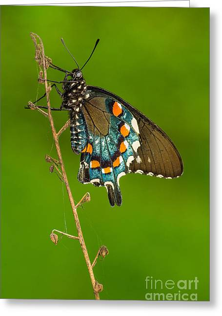 Pipevine Swallowtail Greeting Card by Anthony Heflin