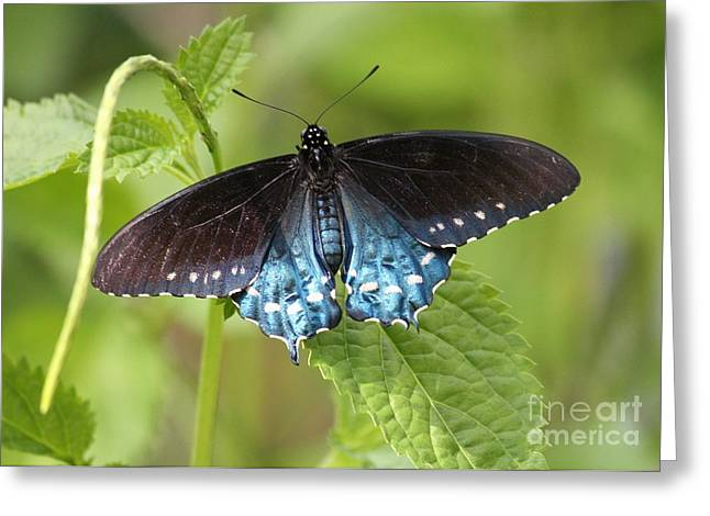 Blue And Green Greeting Cards - Pipevine Swallowtail on Plant Greeting Card by Carol Groenen