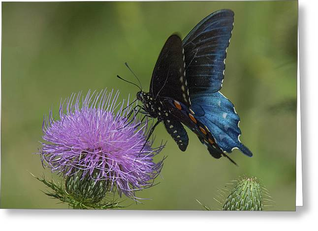 Pipevine Swallowtail Visiting Field Thistle Din158 Greeting Card by Gerry Gantt