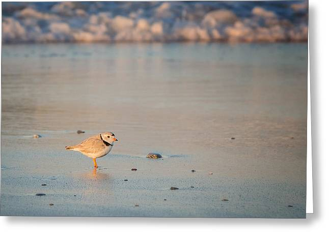 Piping Greeting Cards - Piping Plover at Sunset Greeting Card by Bill Wakeley