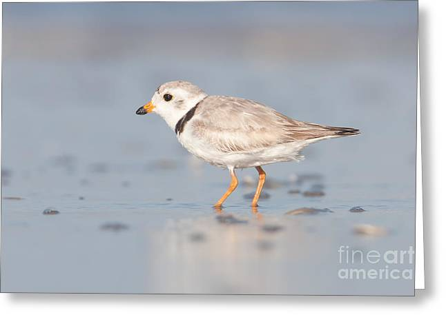 Piping Plover II Greeting Card by Clarence Holmes